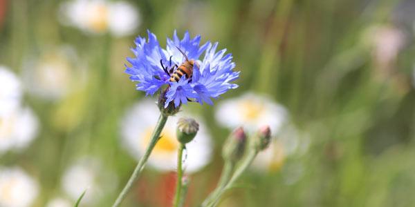 A bee in a cornflower